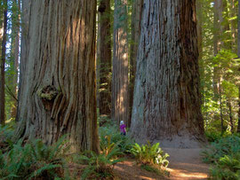 California, Jedediah Smith Redwoods State Park: the Stout Grove