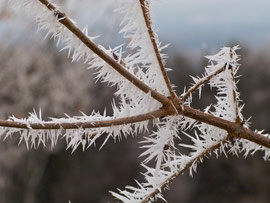 Curious spiked ice crystals on a maple-tree branch (Dec. 2009)