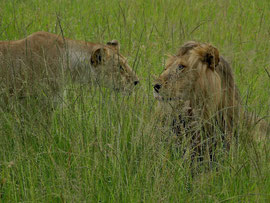 Tanzania, Klein's Camp: the lioness approached the male slowly and cautiously