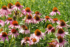 Cone-flowers (Echinacea) and a bee