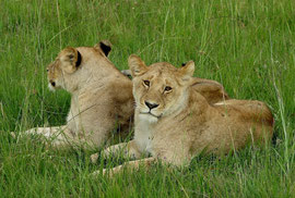 Tanzania, Klein's Camp: the same two lionesses