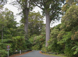 New Zealand, Northland: kauri trees named Darby & Joan in the Waipoua forest