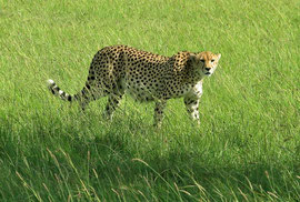 Tanzania, Klein's Camp: a male cheetah