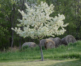 Another of our crab-apples (May 2005)
