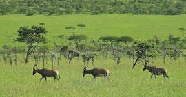Tanzania, Klein's Camp: three topi and an elephant