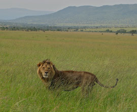 Tanzania, Klein's Camp: a male lion on the grassland