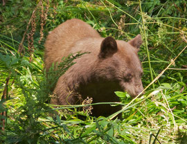 California, Sequoia National Park: a black bear in Crescent Meadow