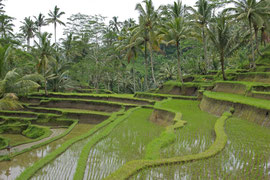 Bali: rice terraces by the path descending to Gunung Kawi Temple
