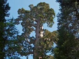 California, Kings Canyon: the General Grant sequoia (third largest tree in world) in Grants Grove
