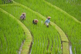 Bali, rice terraces at Jatiluwih