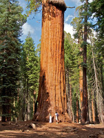 California,  the McKinley tree