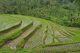 Bali: rice terraces near Jatiluwih