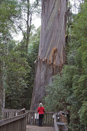 Tasmania, Arve Valley: a Eucalyptus regnans (swamp gum) named Arve Big Tree (87 m tall x 544 cm girth), the State's second largest tree by volume