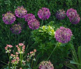 Flowering Allium and Astrantia
