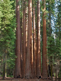 California, Sequoia National Park: trees in the Giant Forest