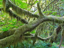 California, Prairie Creek Redwoods State Park: moss-draped branches along Newton Drury scenic parkway