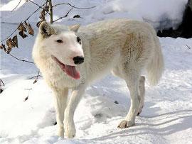 Wolf-Dog (Dayle M)