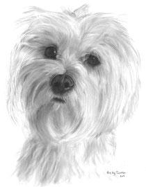 'Klein Maltezer Leeuwtje' - hondenportret