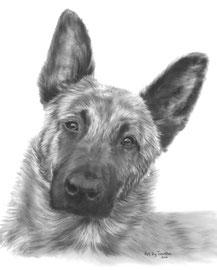 'Kwiebus de Hollandse Herder' - hondenportret