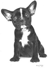 'La Petite Frenchie' - hondenportret