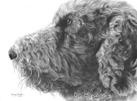 'Choco de Koningspoedel' - hondenportret