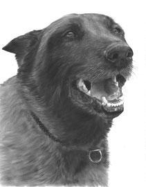 In liefdevolle herinnering aan 'Troy de Mechelse Herder' - hondenportret