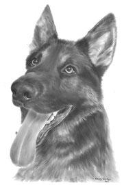 'Pablo de Duitse Herder' - hondenportret