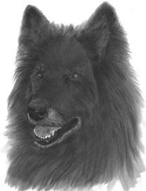 In liefdevolle herinnering aan 'Wenke de Tervuerense Herder' - hondenportret