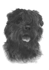 In liefdevolle herinnering aan 'Ivar de Bouvier' - hondenportret