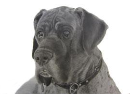 'Jannes de Duitse Dog' - hondenportret