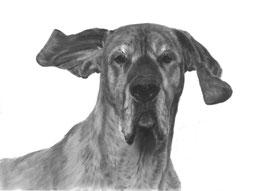 In liefdevolle herinnering aan 'Tula de Duitse Dog' - hondenportret