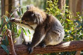 Koala beim Aussuchen des nächsten Blatts