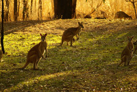 Känguru in der Abenddämmerung bei Kathrine, Northern Territory, Australien