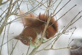 Eichhörnchen am Meisenknödel II
