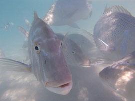 Fotogener Fisch