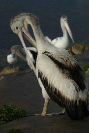 Pelikan - Gefieder wird regelmäßig geputzt