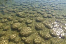 """Thromboliten - """"wachsende"""" Steine nördlich von Bunburry in Westaustralien"""