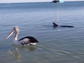 Pelikan mit Delfin in Monkey Mia, WA
