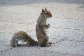 Amerikanisches Eichhörnchen in Washington