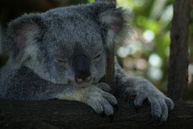 Koala - total relaxed