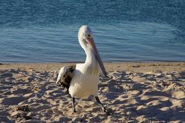 Pelikan - Pose für uns Fotografen