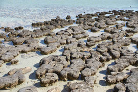 Stromalithen, Hamlin Pool, Westaustralien