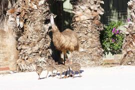 Emu - der Papa zieht die Kinder auf (Monkey Mia, WA)