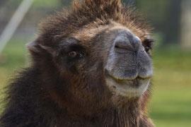 Untypischer Blick eines Kamels, Wilhelma, Stuttgart