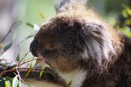 Koala - nicht jeder Eukalyptus schmeckt