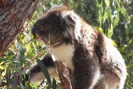 Koala- Eukalyptus zu verdauen erfordert viel ab von den putzigen Beuteltieren