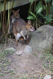 Känguru: Mama, Papa und Kind