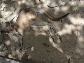 Känguru relaxed im Sand