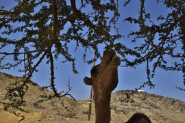 Das junge Kamel hatte keine Scheu weiterzufuttern als wir uns näherten