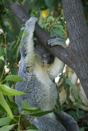 Koala beim Klettern - im Notfall extrem schnell